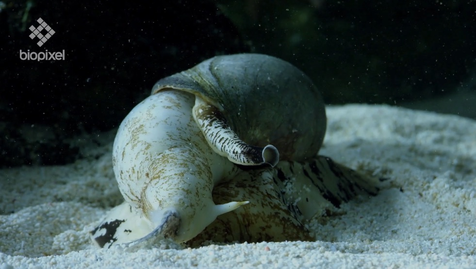 Cone Snail eating a sand perch