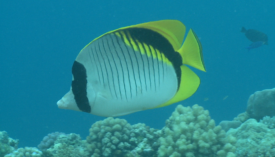 Reef fish-butterfly fish